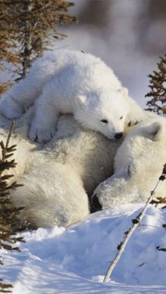Awww... Mama & baby relaxing together. ❄❄ Polar Bears