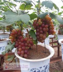 Cheap grape seeds, Buy Quality organic fruit seeds directly from China fruit seeds Suppliers: 50 pcs/bag grape seeds Miniature Grape Vine Seeds Organic fruit seeds Succulent plants sweet food easy to grow plant for garden