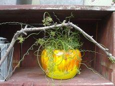 Care Of Corkscrew Rush: Tips For Growing Corkscrew Rush Plants