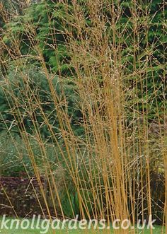 Molinia Karl Foerster |One of the best cultivars of tall purple moor grass with outstanding golden brown flower spikes turning a superb butter yellow colour in autumn. Sunny open spot. Height 1.8m-2.1m. Deciduous