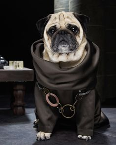 """Game of Thrones Pugs - Philip said: """"Sue is a professional photographer and designer and she loves to take pictures of our pugs in various scenarios. When blinkbox set us the challenge of a Game of Thrones tribute, she just couldn't resist."""""""