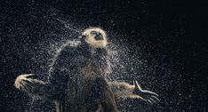 More Than Human40 by Tim Flach which provides a similar look and feel as Jill Greenbergs work