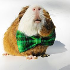 Guinea pig accessories pet bow guinea pig clothes by GuineaGus