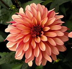 Dahlia used to grow lots of these but had to dig bulbs every fall. Flowers Nature, My Flower, Flower Power, Beautiful Flowers, Flower Pictures, Pretty Pictures, My Secret Garden, Beautiful Tattoos, Garden Plants