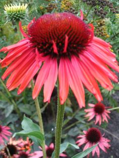 Echinacea crvena