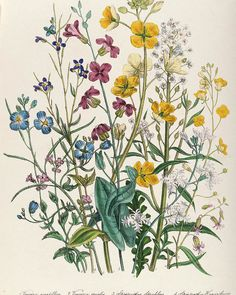 Forget-me-nots And Buttercups, Plate 13 From The Ladies Flower Garden, Published. Forget-me-nots And Buttercups, Plate 13 From The Ladies Flower Garden, Published 1842 Colour Litho Poster by Jane Loudon. Vintage Botanical Prints, Botanical Drawings, Vintage Flower Prints, Illustration Blume, Botanical Illustration, Garden Illustration, Botanical Flowers, Botanical Art, Poppy Flowers