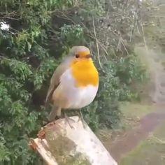 Singing Eurasian Robin - Petirrojo Europeo o Robin Ibérico - Cute Birds, Pretty Birds, Beautiful Birds, Animals Beautiful, Beautiful Pictures, Exotic Birds, Colorful Birds, Nature Animals, Animals And Pets