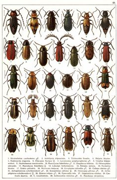"""G.G. Yakobson (1905-1915) - """"Beetles of Russia"""": table 42"""