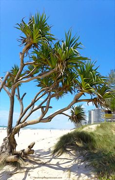 Pandanas Palms/Trees are part of the Gold Coast, they are just beautiful, Surfers Paradise Love Painting, Painting Tips, High Rise Building, Surfers, Australia Travel, Gold Coast, Palms, Travel Around, Palm Trees