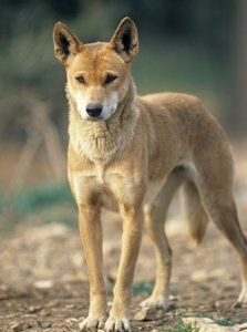 Dingo - these sweet lil babies would be perfect, along the southern border. Dog Poses, Animal Antics, Australian Animals, Wild Dogs, Mammals, Amphibians, Beautiful Dogs, Animal Photography, Pet Birds