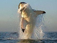 飛び跳ねるサメ00