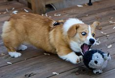 Corgi with crazy eyes I Love Dogs, Cute Dogs, Puppy Love, Corgi Dog, Dog Cat, Baby Dogs, Dogs And Puppies, Funny Animals, Cute Animals