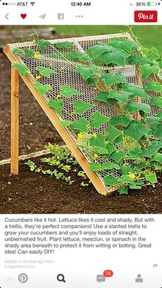 Cubers like it hot. Lettuce likes it cool and shady. But with ... on