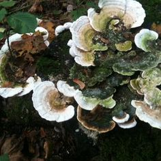 Veel zwammen in de herfst in het bos. Het bekende Elfenbankje?