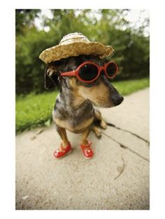 Insanely Funny Dog Photos: Dachshund with Hat, Sunglasses, AND Tiny Shoes! Dachshund Funny, Dachshund Puppies, Weenie Dogs, Dachshund Love, Pet Puppy, Funny Dogs, Dogs And Puppies, Daschund, Doggies