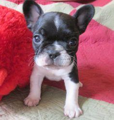 Sir Studly Muggsley, princess's french bulldog puppy 3/22/2014 at almost 6 weeks