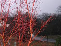 My lovely red bark maple is a sweet young addition to my yard.  I love it's change of color from pale red with green leaves to bright red showing off throughout the cold.