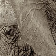 njwight:        An elephants skin is rough, covered in deep ridges and hair that ranges from short, tiny bristles to thicker, wiry strands. Their trunks are especially rough. But behind the ears, oh my. I have had the blessings of scratching and rubbing them there and it is as soft and warm as anything I have touched. It is part of the elephant magic I have come to know.  reblogged katherinewillis, njwight.