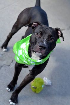 SAFE 3/4/15 --- Brooklyn Center  DALLAS - A1018850  ***RETURNED 12/14/14*** MALE, BLACK / WHITE, STAFFORDSHIRE MIX, 1 yr STRAY - STRAY WAIT, NO HOLD Reason STRAY Intake condition UNSPECIFIE Intake Date 10/27/2014, From NY 11693, DueOut Date 10/30/2014 Main Thread: https://www.facebook.com/photo.php?fbid=898436266835920