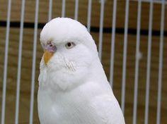 budgerigar colours - Google Search