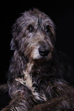 Irish Wolfhound - Sighthound