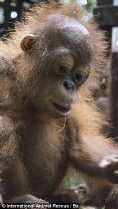 Cheeky monkey: Three months after being rescued, Joss has made a full recovery and joined 'ape school'