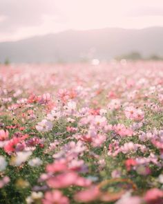 Fields of dreams pink aesthetic, flower aesthetic, nature pictures flowers, beautiful pictures Nature Pictures Flowers, Flowers Nature, Pink Flowers, Beautiful Flowers, Field Of Flowers, Beautiful Pictures Of Flowers, Springtime Pictures, Pink Flower Pictures, Glitter Flowers