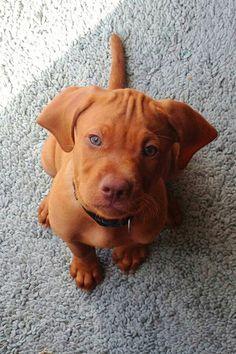 My cousins dog Remington...aka Remi a Visla