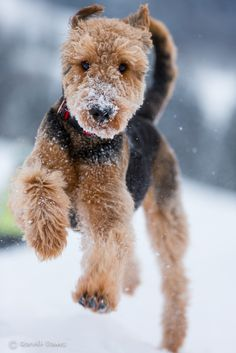 Airedale terrier in the snow. Big dog. Doesn't shed :) it looks so cuddly!