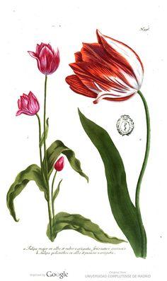 ⭐️ Phytanthoza-Iconographia, Oder Eigentliche ... Lám.: 776-1025. Weinmann, Johann Wilhelm, 1683-1741.