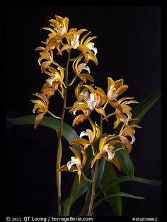 Cymbidium Wood Nymph. A hybrid orchid