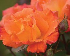 Orange Waves™ - Heirloom Roses™ - Roses - Heirloom Roses