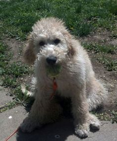 5 Months #labradoodle