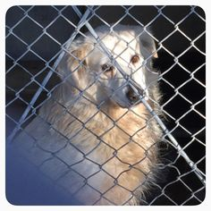 ID #A478310 Dalton is a male 6-7 year old Great Pyrenees , so happy for visitors . Call San Bernardino City Shelter , CA 909-384-1304 Please call shelter regarding information on any of animals, please have ID# and information on any of animals.