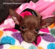 Chocolate Teacup Chihuahua #chihuahua