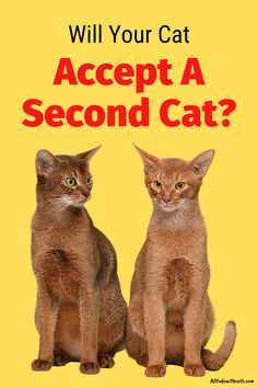 Are you wondering should I get another cat? One biggest concern is if your cat will accept another! Discover the pros and cons of getting a second cat as well as tips to help make it work. #shouldigetanothercat #gettinganothercat #multicathome