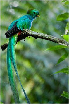 el quetzal es una ave del paraiso - Buscar con Google