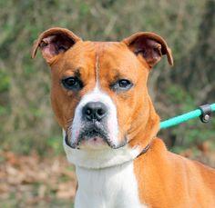 Boxer dog for Adoption in Sparta, TN. ADN-471856 on PuppyFinder.com Gender: Male. Age: Adult