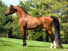 Imperial Baareg (USA) 2002 Straight Egyptian bay stallion. Imperial Baarez {PVA Karim x BB Ora Kalilah by Orashan} x Imperial Karmah {Imperial Al Kamar x Imperial Janaabah by Imperial Im Jasim} Bred by Imperial Egyptian Stud, USA.