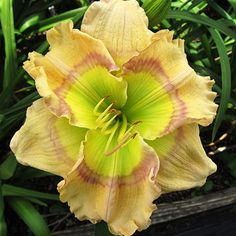 """GREEN EYED ENVY 8-147 DIP (Green Eyed Illusion X Seedling) 7"""" EM, RE, SEV, 34"""" scape 6-way br. One of the very finest diploids to be introduced by Pete Harry. Large 7"""" flowers are round and flat. The self-color is cream white w a touch of yellow, but the eye is absolutely mesmerizing. Iridescent green throat extends out over 2/3 of the petals & in turn is surrounded by a picotee shadow of lavender. Excellent 34"""" scapes, well branched & budded. A vast improvement over it is parent. Fertile…"""