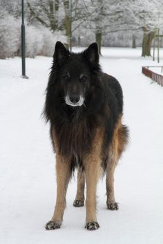 Belgian Tervuren - holy crap this is such a pretty dog!!