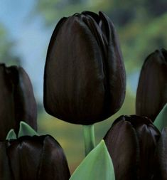 """""""Queen of the Night"""" tulips.Rare, maroon-black flowers on stems Dark Flowers, Tulips Flowers, Exotic Flowers, Beautiful Flowers, Tulips Garden, Planting Flowers, Blue Lotus Flower, Gothic Garden, Deco Nature"""