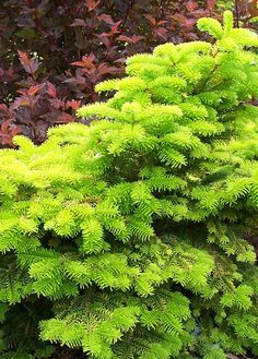 'Golden Spreader' (Abies nordmanniana) - low spreading fir.  Does not burn in full sun.