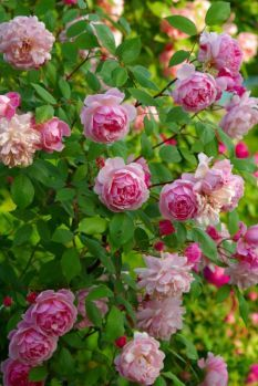 English Shrub Rose: Rosa 'Mortimer Sackler' (U.K., 2002)