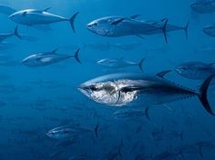 Bluefin Tuna Picture -- Underwater Photo -- National Geographic Photo of the Day Tuna Fishing, Spear Fishing, Especie Animal, Fish Wallpaper, Salt Water Fish, Underwater Photos, Ocean Underwater, Underwater Photography, Art Photography
