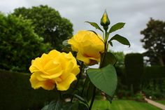 The flower of Sigma Delta Tau is the yellow tea rose.