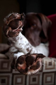 "German Shorthaired Pointer - this is dog sign language for ""Chill"""