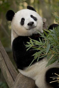 Bai Yun - by Official San Diego Zoo