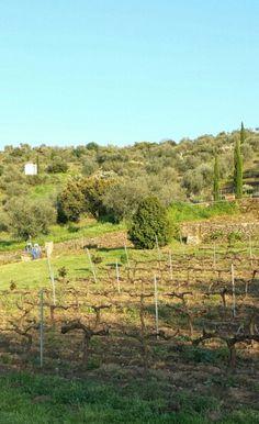 9 de abril de 2014. Viñas. Extremadura. April 9, 2014. Vineyard.
