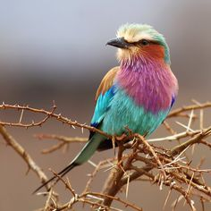Lilac-breasted Roller  Tattoo inspiration???